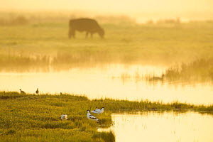Avocet (Recurvirostra avosetta) in mist on grazing marsh at dawn with cattle grazing in the background, Thames Estuary, Elmley Marshes RSPB reserve, North Kent, UK,, April 2011. Photographer quote: 'G...  -  Terry Whittaker / 2020VISION