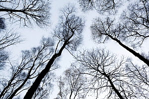 View up through skeletal branches of Birch trees against a winter sky, Yoxall, Derbyshire, UK, November 2010  -  Peter Cairns / 2020VISION