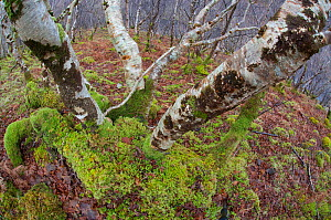 Upland woodland containing birch, oak, hazel, Inverpolly, Sutherland, Highlands, Scotland, UK, January 2011 - Peter Cairns / 2020VISION