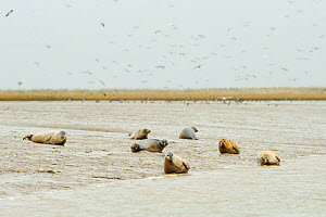 Common / Harbour seals (Phoca vitulina) hauled out on mudflats at saltmarsh, Wallasea Island RSPB reserve, Essex, UK, March 2011  -  Terry Whittaker / 2020VISION
