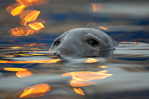 Grey seal (Halichoerus grypus) bull with reflections on water of harbour lights, Shetland Isles, Scotland, UK, June 2010. Photographer quote: 'This 'seal on fire' is actually bobbing in a harbour and...  -  Peter Cairns / 2020VISION