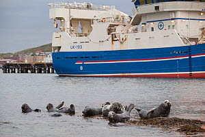 Grey seals (Halichoerus grypus) on haul out in fishing harbour with ferry in the background, Lerwick, Shetland Isles, Scotland, UK, June 2010 - Peter Cairns / 2020VISION