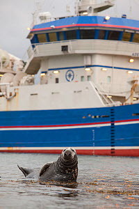 Grey seal (Halichoerus grypus) on haul out in fishing harbour with ferry in the background, Shetland Isles, Scotland, UK, June 2010  -  Peter Cairns / 2020VISION