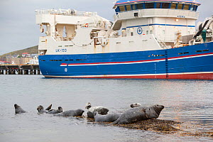 Grey seals (Halichoerus grypus) on haul out in fishing harbour with ferry in the background, Lerwick, Shetland Isles, Scotland, UK, June 2010. Photographer quote: 'These seals line up to take advantag...  -  Peter Cairns / 2020VISION