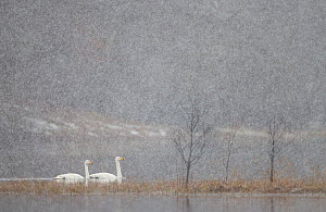 Whooper swans (Cygnus cygnus) two on water during snow storm, Loch Insh, Cairngorms NP, Highlands, Scotland, UK, March 2011. Highly commended, 'Habitat' category, British Wildlife Photography Awards (...  -  Peter Cairns / 2020VISION