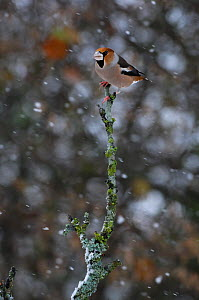 Hawfinch (Coccothraustes coccothraustes) perched in snowfall. Vosges, France, November.  -  Fabrice Cahez