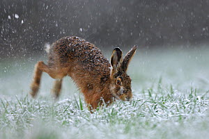 Hare (Lepus europaeus) hopping through grass in snowfall. Vosges, France, March. - Fabrice Cahez