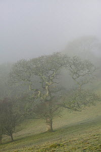 Sessile Oak (Quercus patraea) in mist. Gilfach Farm SSSI, Radnorshire Wildlife Trust, Wales, UK, November. - David Woodfall