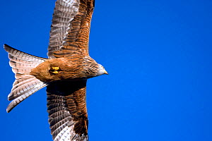 Red Kite (Milvus milvus) in flight. Gilfach farm SSSI, Radnorshire Wildlife Trust, Wales, January. - David Woodfall