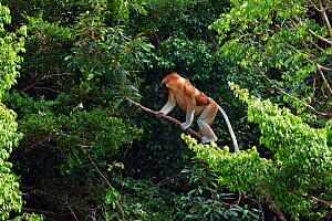 Proboscis monkey (Nasalis larvatus) male walking along a branch high in the forest canopy, Bako National Park, Sarawak, Borneo, Malaysia, March - Anup Shah