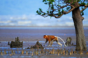 Proboscis monkey (Nasalis larvatus) male walking across the mudflats of a mangrove swamp revealed at low tide with the sea in the background, Bako National Park, Sarawak, Borneo, Malaysia, March - Anup Shah