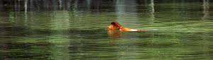 Proboscis monkey (Nasalis larvatus) young male swimming across a river to reach a new feeding area, Bako National Park, Sarawak, Borneo, Malaysia, April - Anup Shah