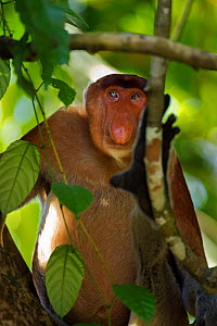 Proboscis monkey (Nasalia larvatus) mature male sitting in a tree, Bako National Park, Sarawak, Borneo, Malaysia, April - Anup Shah