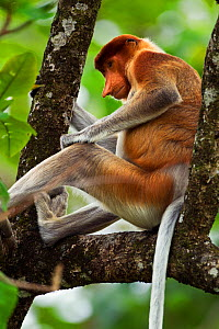 Proboscis Monkey (Nasalis larvatus) sub-mature male sitting in a tree. Bako National Park, Sarawak, Borneo, Malaysia, March. - Fiona Rogers