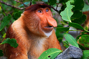 Proboscis Monkey (Nasalis larvatus) mature male head and shoulders portrait. Bako National Park, Sarawak, Borneo, Malaysia, April. Did you know? A Proboscis monkey's nose can reach up to a quarter of... - Fiona Rogers