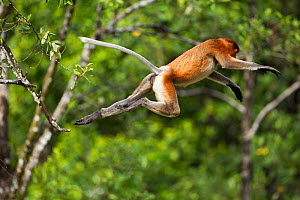 Proboscis Monkey (Nasalis larvatus) jumping through the forest canopy. Bako National Park, Sarawak, Borneo, Malaysia, April. - Fiona Rogers