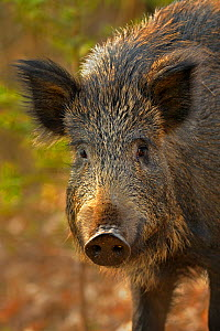 Wild boar (Sus scrofa) female, portrait, Forest of Dean, Gloucestershire, UK, March - Andy Rouse / 2020VISION