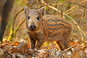 "Wild boar (Sus scrofa) piglet in woodland undergrowth, Forest of Dean, Gloucestershire, UK, March. Photographer quote: ""Getting down and dirty with this wild boar piglet meant that I had to eat the fo... - Andy Rouse / 2020VISION"