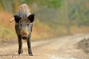 Wild boar (Sus scrofa) female on woodland track, Forest of Dean, Gloucestershire, UK, March - Andy Rouse / 2020VISION