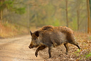 Wild boar (Sus scrofa) female crossing woodland track, Forest of Dean, Gloucestershire, UK, March 2011 - Andy Rouse / 2020VISION