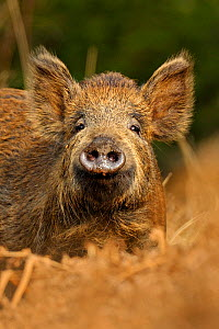Wild boar (Sus scrofa) female in woodland undergrowth, Forest of Dean, Gloucestershire, UK, March  -  Andy Rouse / 2020VISION