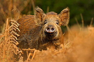 Wild boar (Sus scrofa) female in woodland undergrowth, Forest of Dean, Gloucestershire, UK, March. 2020VISION Exhibition. 2020VISION Book Plate.  -  Andy Rouse / 2020VISION