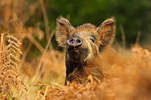 Wild boar (Sus scrofa) female in woodland undergrowth smelling air for scent of human, Forest of Dean, Gloucestershire, UK, March. Photographer quote: 'I am not sure if it was my lack of smelly shower... - Andy Rouse / 2020VISION