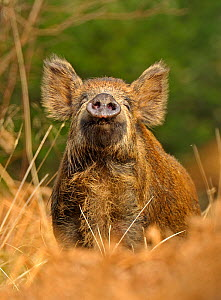 Wild boar (Sus scrofa) female in woodland undergrowth sniffing air for scent of human, Forest of Dean, Gloucestershire, UK, March, Highly commended, Animal Portraits, British Wildlife Photography Awar...  -  Andy Rouse / 2020VISION