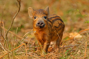 Wild boar (Sus scrofa) inquisitive piglet, Forest of Dean, Gloucestershire, UK, March  -  Andy Rouse / 2020VISION