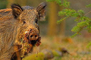 Wild boar (Sus scrofa) female in woodland with vegetation on snout, Forest of Dean, Gloucestershire, UK, March - Andy Rouse / 2020VISION