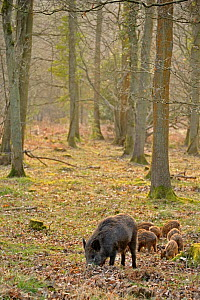 Wild boar (Sus scrofa) female with piglets in woodland, Forest of Dean, Gloucestershire, UK, March 2011 - Andy Rouse / 2020VISION