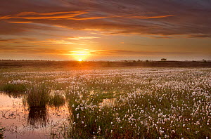 Ballynahone Bog at dawn with flowering cotton grass, County Londonderry, Northern Ireland, UK, June 2011  -  Ben Hall / 2020VISION