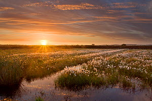 Ballynahone Bog at dawn with flowering cotton grass, County Londonderry, Northern Ireland, UK, June 2011. Did you know? Peatlands have been badly damaged across the UK but many organisations are worki...  -  Ben Hall / 2020VISION