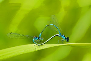 "Irish Damselfly (Coenagrion lunulatum) pair mating, Montiagh's Moss, County Antrim, Northern Ireland, June. Photographer quote: ""It�s hard to get excited about peat bogs but if you get down on your kn... - Ben Hall / 2020VISION"