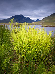 Ferns and rushes beside loch, Knockan Crag and Stac pollaidh in the background, Assynt mountains, Highland, Scotland, UK, June 2011  -  Joe Cornish / 2020VISION