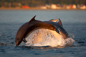 Social group of Bottlenose dolphin (Tursiops truncatus) playing and breaching in evening light, Moray Firth, Scotland, UK, June 2011, sequence 1/4  -  John MacPherson / 2020VISION