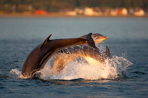Social group of Bottlenose dolphin (Tursiops truncatus) playing and breaching in evening light, Moray Firth, Scotland, UK, June 2011, sequence 2/4  -  John MacPherson / 2020VISION