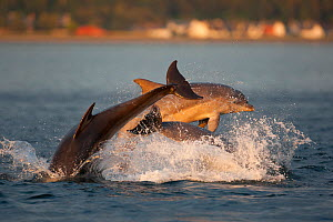Social group of Bottlenose dolphin (Tursiops truncatus) playing and breaching in evening light, Moray Firth, Scotland, UK, June 2011, sequence 3/4  -  John MacPherson / 2020VISION