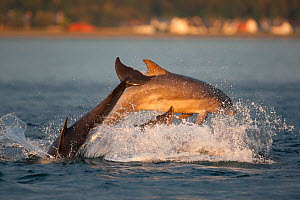 Social group of Bottlenose dolphin (Tursiops truncatus) playing and breaching in evening light, Moray Firth, Scotland, UK, June 2011, sequence 4/4  -  John MacPherson / 2020VISION