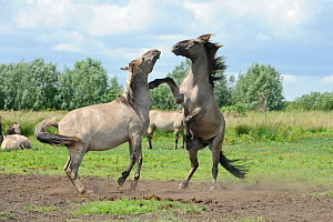 "Konik horse (Equus caballus) two stallions fighting, wild herd in rewilding project, Wicken Fen, Cambridgeshire, UK, June 2011. Photographer quote: ""Koniks are a rare Polish horse used as surrogate gr... - Terry Whittaker / 2020VISION"