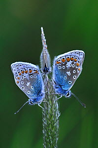Three Common Blue butterflies (Polyommatus icarus) at rest on grass. Dorset, UK, May.  -  Colin Varndell