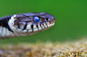 Close-up of head of Grass Snake (Natrix natrix) showing clouded eye prior to sloughing skin. Dorset, UK, May. - Colin Varndell