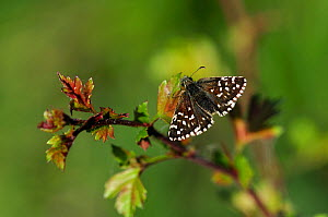 Grizzled Skipper butterfly (Pyrgus malvae) at rest on Hawthorn. Dorset, UK, May. - Colin Varndell
