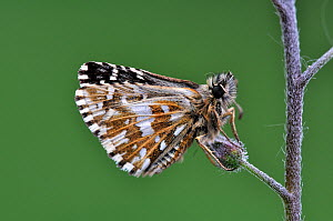 Grizzled Skipper butterfly (Pyrgus malvae) at rest on Forget-me-not bud. Dorset, UK, May.  -  Colin Varndell