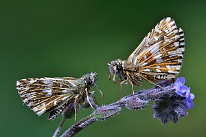 Grizzled Skippers butterflies (Pyrgus malvae) at rest on Forget-me-not flower. Dorset, UK, May.  -  Colin Varndell