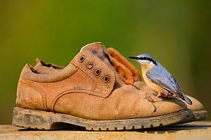 Nuthatch (Sitta europaea) perching on old gardening shoes. Dorset, UK, March.  -  Colin Varndell