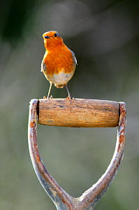 Robin (Erithacus rubecula) perched on garden spade handle. Dorset, UK, February. - Colin Varndell
