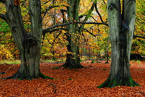 Beech (Nothofagus / Fagus) trees in Savernake Forest, Wiltshire, UK, November. - Colin Varndell