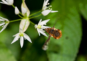 Beefly (Bombylius) at Ramsons / Wild Garlic. Sussex, UK, April.  -  Stephen Dalton