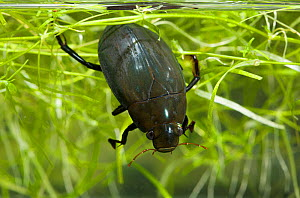Great Silver Water / Diving Beetle (Hydrophilus piceus) male. Sussex, UK, March.  -  Stephen Dalton